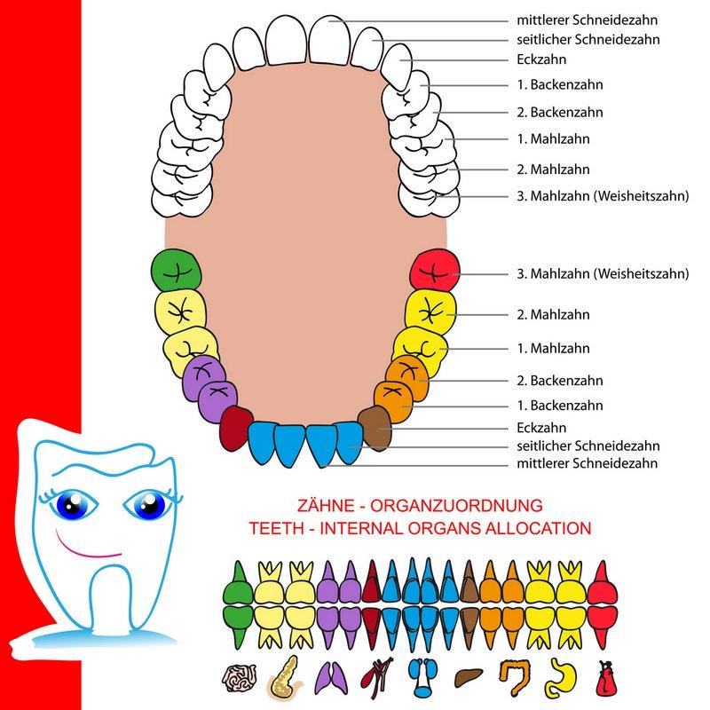 meridiane und ihre verbindung zum organ